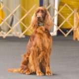 Shadowney Irish Setters