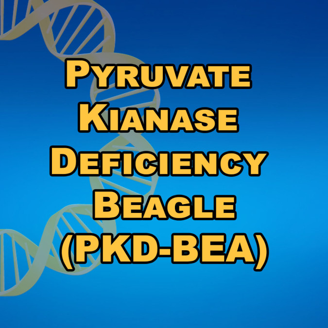 Pyruvate Kinase Deficiency Beagle (PKD-BEA)