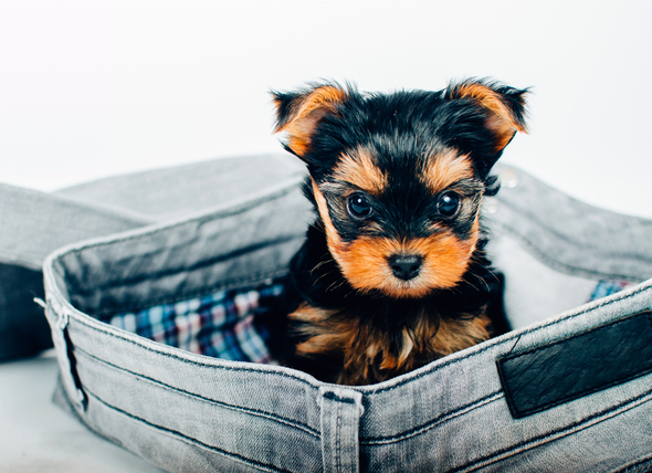 The Truth About Teacup Dogs Gensol Diagnostics