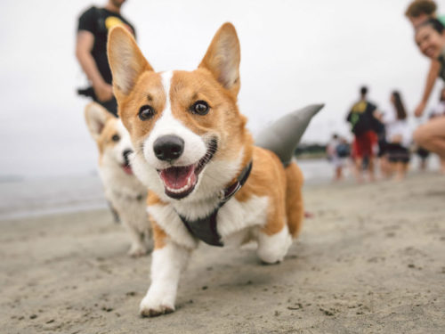 Meet the Dog Photographer Using Corgi Pictures to Help Harvey Victims
