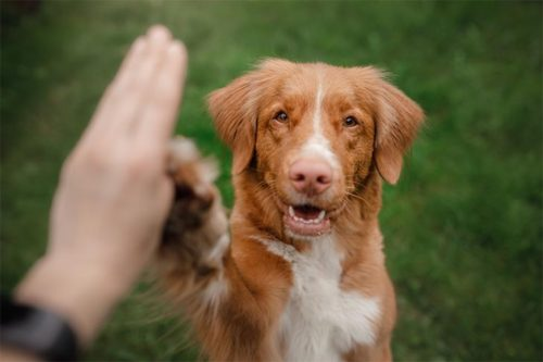 Copycat Dogs: Understanding and Using Dogs' Ability to Imitate