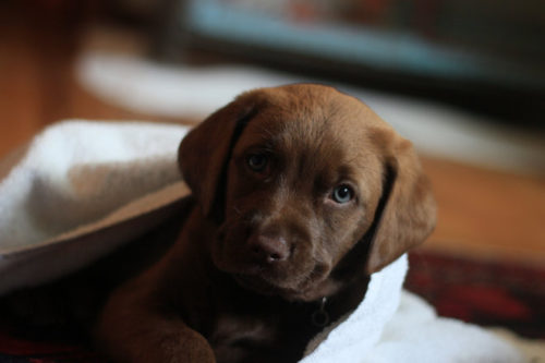 Chocolate Labs Are Less Healthy Than Their Black and Yellow Puppy Pals